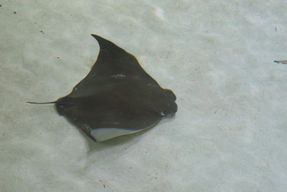 Species list from order sharks for for Types of ray fish